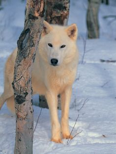 Gray Wolf, Canis Lupus                                                                                                                                                                                 Mais