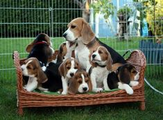 Beagle family...what a hoot...can you imagine having all those little pups at one time? #Beagle