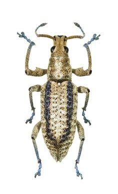 Compsus lepidus