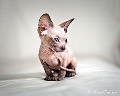 sphynx kitten, I WILL have one.