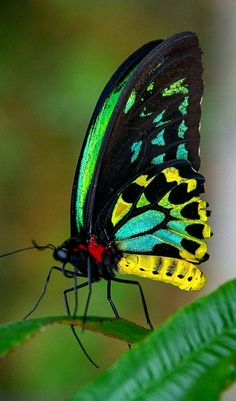 Nature - The beautiful Goliath Birdwing butterfly. - by Khrome Photography