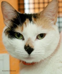 Meet Flo, a Petfinder adoptable Calico Cat   Fulton, TX   Flo is a young, female Calico mix. She has beautiful fur and a distinctive black nose. She would...