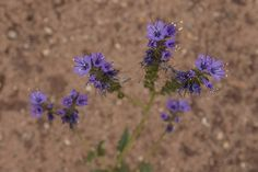 Scoprionweed, Canyonlands National Park, Utah (pinned by haw-creek.com)