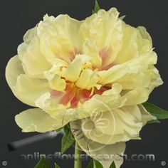 IFD - Bartezella Peony*  I have not seen these at wholesale, but can inquire if you like them