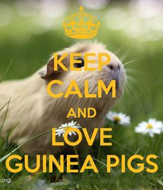 What Is The Best Guinea Pig Bedding? Photo by picto:graphic Guinea pig owners routinely utilize wood or paper types of shavings as the bedding for their pets. Animals And Pets, Baby Animals, Funny Animals, Cute Animals, Baby Guinea Pigs, Guinea Pig Care, Guinea Pig Quotes, Baby Pig, Baby Bunnies