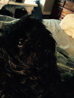 Found Dog - Shih Tzu - Simcoe, ON, Canada N3Y 4K6 on June 28, 2015 (15:00 PM)