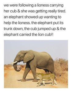 Elephants are the kindest creatures of the planet and this proves it don't you think? How wonderful that this elephant helped this lioness because own her own she was in great danger particularly as she was so tired. Animal Facts, Animal Memes, Cute Funny Animals, Funny Cute, Hilarious, Animals And Pets, Baby Animals, Animal Pictures, Cute Pictures