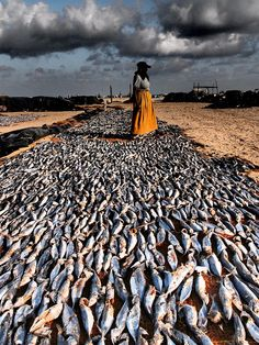 Sri Lanka Negombo Beach Fish Drying | by colsteel