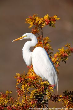 Great Egret, Santee Lakes Preserve, Santee, California. Photo: Ron Niebrugge