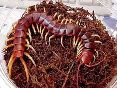 88 Best Centipede pic images in 2018 | Centipedes, Bugs, Venom