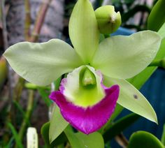 Inter-generic Orchid-hybrid Blc: BrassoLaelioCattleya Hawaii Stars 'Paradise' Orchid; by D.M.V.