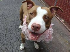 ~~SWEET 18 MONTH OLD TO BE DESTROYED 06/26/14 ~~Manhattan Center -P My name is HAZEL. My Animal ID # is A1004047. I am a female brown and white pit bull mix. The shelter thinks I am about 1 YEAR 6 MONTHS old.  I came in the shelter as a STRAY on 06/21/2014 from NY 10463, owner surrender reason stated was STRAY.