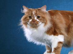 Cymric cat Long Hair Cat Breeds, All Cat Breeds, American Bobtail Cat, Baby Animals, Cute Animals, Cymric, Manx Cat, Kitten Names, Sphinx Cat