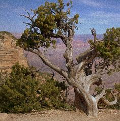 Old Grand Canyon Tree Photograph by Joe Grimando - Old Grand ...