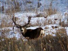 Trophy of the Day Mule Deer Buck, Mule Deer Hunting, Big Game Hunting, Hunting Guns, Deer Pictures, Deer Pics, Alaska, Big Deer, Animal Tracks