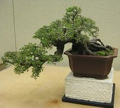 Bonsai Tree Semi Cascade Style (han kengai) Elm
