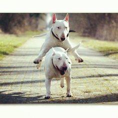 Bull Terrier shenanigans!!! :)