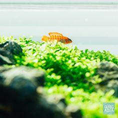 Cute Badis Badis fish in our aquarium. Nano Aquarium, Nature Aquarium, Planted Aquarium, Aquatic Plants, Freshwater Fish, Aquariums, Fish Tank, Scarlet, Perfect Place