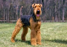 Airedale Terrier. these dogs are ugly but there is something about them that I cant help loving. from there funny tail, odd shaped head to the funny bushy legs.
