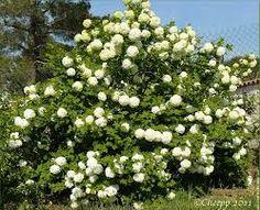 Ceanothus thyrsiflorus 39 skylark 39 c anothe persistante - Boule de neige plante ...