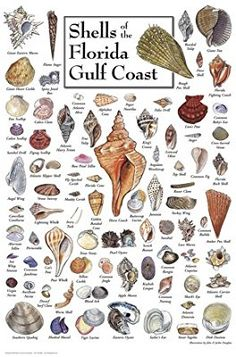 Heritage Puzzle Shells of the Florida Gulf Coast by John and Jackie Leatherbury Douglass - 550 Pieces - x Finished Size Seashell Art, Seashell Crafts, Beach Crafts, Seashell Identification, Types Of Shells, Shell Decorations, Sea Glass Crafts, Underwater Creatures, Shell Beach