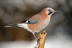 British Jay bird ! We had 2 in the garden this week :) beautiful birds.