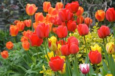 Orange is a very striking color for tulips, taken near Lisse, Holland. Tulips, Are You Happy, Make It Yourself, Orange, Vegetables, Garden, Holland, Pretty, Flowers