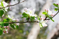 Branches of a blossoming pear-tree, shallow depth of field | Stock ...