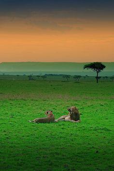 Un couple de lions profitant de la douceur de fin de journée au Masai Mara, Kenya. Le mâle se reconnaît facilement à son imposante crinière. Les lions peuvent avaler jusqu'à 30 kilos de viande en une seule fois. La population de lion au Masai Mara est très importante (environ 1 individu par km2) bien que le lion soit globalement en voie de disparition.