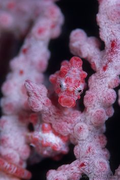 "Pigmy sea horse -- saw this on the movie called ""The Revolution."" Who knew that these sea horses mate for life...and the male is the one who is the giver of life...fascinating."