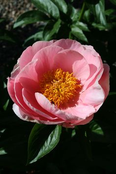 "Peony ""Salmon Dream"" 