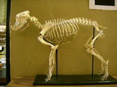 emu skeleton - Google-haku