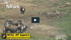 Where can you spot a blesbok? Watch the video and find out! Tv Videos, Tgif, Wildlife, Watch, Nature, Movie Posters, Movies, Animals, Clock