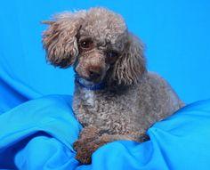 Dexter is available for adoption.   http://www.petango.com /Adopt/Dog-Poodle-Miniatura 19996326
