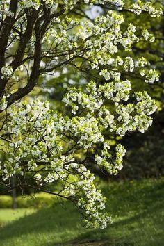 Päärynä, Pyrus communis http://www.viherpiha.fi/pensaat-ja-puut/puu-joka-pihalle-paarynapuu
