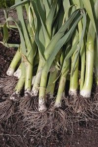 How to Grow Leeks: Leeks are cool-season vegetables that require 120 to 170 days to come to harvest. Start leeks indoors and set them into the garden in early spring 4 to 6 weeks before the last average frost date. In mild winter climates transplant leeks into the garden in autumn or late winter.