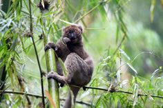 This greater bamboo lemur (Prolemur simus) munches on something that would kill most other animals. It prefers cyanide-containing Madagascar giant bamboo (Cathariostachys madagascariensis), and scientists still aren't sure what prevents the lemur from being sickened by this poisonous snack.