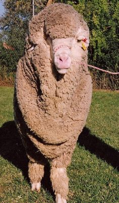 My future sheep #sofluffy. -rayj