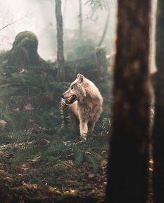 Rate it 1-10! Who else loves these beautiful animals? Follow @loveanimals_online for daily updates Photo credit: @spencermarsh #wolves#wolf#wolfdog#realwolfdog#worldofwolves#wolfhybrid#whitewolf#dogsofinstagram#dog#canine#instawolf#wolfdogsofinstagram#doglover#nature#animals#animalcuteanimal#awesomeanimals#wolfdogs#instadog#beautiful#lovewolves#wolfpack#woof#arcticwolfdogo#livewithwolves