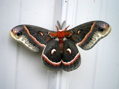 Hyalophora Cecropia by lilfishstudios, via Flickr