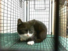 Time is up at the shelter for this precious little one.  Will you save this kitty? They need their life saved immediately or they will succumb to euthanasia.  Adopters and rescues are greatly needed...urgently. PET ID#: A459439 - Gender Unknown per Shelter Age: Approx. 4 months old per Shelter