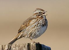 Song Sparrow. All year. During the spring and summer, I hear these cheerful little things every morning.