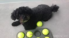 All you need for this game is a muffin tin, tennis balls and some treats.  I bet your dog won't mind if you don't fill all 12 with tennis balls either.  Great rainy day activity for your dog.