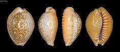 (Ford, 1893) Off Phuket is, Thailand 22.2mm  Scientific classification Kingdom:Animalia Phylum:Mollusca Class:Gastropoda (unranked):clade Caenogastropoda clade Hypsogastropoda clade Littorinimorpha Superfamily:Cypraeoidea Family:Cypraeidae Genus:Ovatipsa Species:O. coloba
