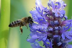 El análisis del polen en ejemplares disecados muestra que su declive está relacionado con la expansión de la agricultura moderna.