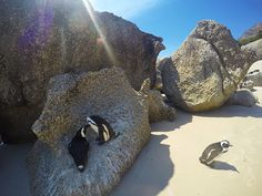 Visit Boulders Beach in Cape Town, the only place on earth where you can get up close to the endangered African Penguin - a bird that epitomises love. African Penguin, Boulder Beach, Creatures, Meet, Birds, Image, Bird