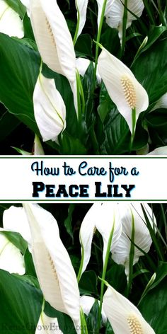 Are you getting a new plant for the house or maybe someone gave you a gift of a Peace Lily? If you are not sure how to care for it, I am going to share some tips on How to Care for a Peace Lily Plant.