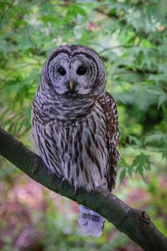 A beautiful Barred Owl perched on a branch with both eyes open wide and staring straight at the camera. Nature and Wildlife art prints, perfect for your home or office decor by Keith Boone. Barred Owl, Owl Eyes, Thing 1, Owl Art, Wildlife Art, Cool Artwork, Art Images, Office Decor, Owls
