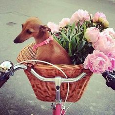 Italian Greyhound and pink flowers going for a ride in the front basket of a bike Italian Greyhound, Greyhound Italiano, Animals And Pets, Baby Animals, Cute Animals, Baby Elephants, Wild Animals, Dog Bike Basket, Biking With Dog