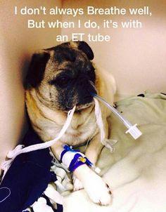Haha! Brachycephalics love their ET tubes!